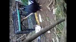 getlinkyoutube.com-Easy way to make a trap for birds handmade