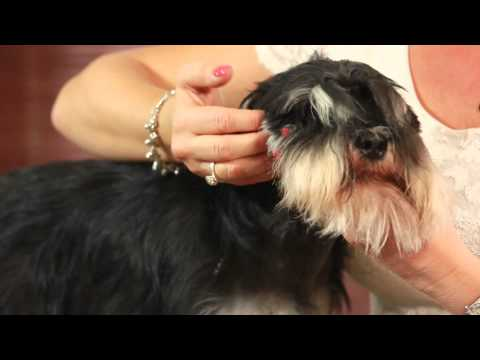 How to Groom Miniature Schnauzer Ear & Head - Miniature Schnauzer Grooming - With Ewa