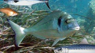 getlinkyoutube.com-أسماء السمك  بالصور و أنواع الأسماك في البحر الأبيض المتوسط