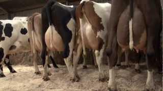 getlinkyoutube.com-3-way crosses on Henk Schoonvelde's dairy farm in Holland