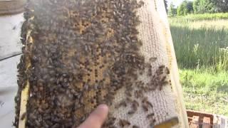 Пчеловодство  Кочевка пчел через 9 дней после перевозки пчел на гречиху  Beekeeping Migrations bees