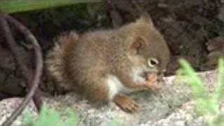 getlinkyoutube.com-Baby Squirrel