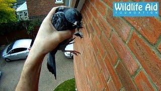 getlinkyoutube.com-GoPro rescue - Pigeon hanging by the beak