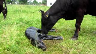 getlinkyoutube.com-DEXTER COW CALVING ON MORNINGSIDE FARM