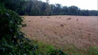 getlinkyoutube.com-jelenie kapitalny byk dziki Rogacz Stargard ambona polowanie