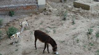 getlinkyoutube.com-Donkey Attacked at Dog Babies Then Momy Help Them