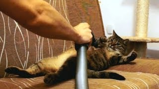 This cat loves to be vacuumed...