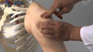 getlinkyoutube.com-M155 Intramuscular Injection Model of Upper Arm Muscles