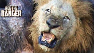 getlinkyoutube.com-Big Male Lions (Mapogo Males) Feed on a Cape Buffalo Kill (HD)