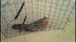 طريقة صيد القمري او الحمام بالفخ | Trap pigeons