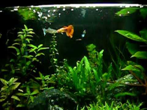 Gupiki - samica + dwa samce kolorowe