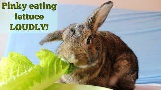 getlinkyoutube.com-Pinky the bunny, eating lettuce LOUDLY
