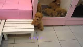 getlinkyoutube.com-Teacup Toy Poodle Apricot Poodle - Teacup Poodle Toy Poodle Tiny Teacup Poodle Pocket Poodle