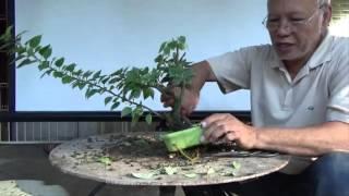 getlinkyoutube.com-Bonsai Tutorials for Beginners: How to Restore an Overgrown Shohin Bougie