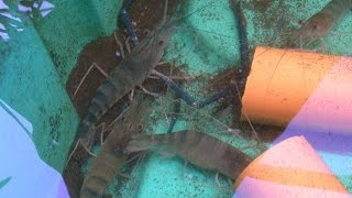 getlinkyoutube.com-Fresh Water Prawns in Aquaponics, MADE in the  Philippines