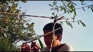 Berburu menjebak burung prenjak dengan getah pohon pakai pemikat mp3 width=