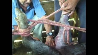 getlinkyoutube.com-rancho dos paula ... capando porco 2