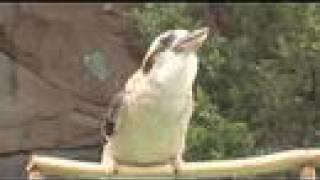 getlinkyoutube.com-Kookaburra calls-Cincinnati Zoo