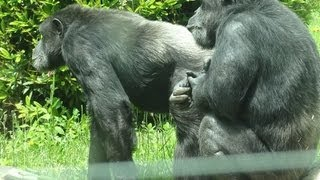 Zoo-de-St-Martin-la-Plaine-le-chimpanz width=