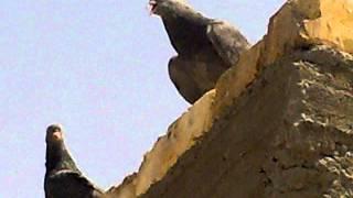 getlinkyoutube.com-3 نقل طيور الازرك العراق القلابي من بغداد للسويد بسيارتي رحال الهاروني ومصطفئ ألموسوي