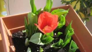 getlinkyoutube.com-Tulipanes