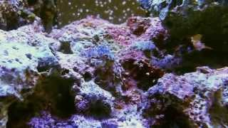 getlinkyoutube.com-Mantis Shrimp vs Brine Shrimp and Ninja Crab