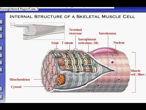 Anatomy & Physiology Review of Skeletal Muscle Tissue