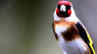 getlinkyoutube.com-chant chardonneret goldfinch Jilguero تعليم الحسون الغناء cardellino