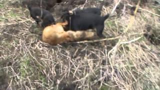 getlinkyoutube.com-охота на лису с грейхаундом и ягдтерьером