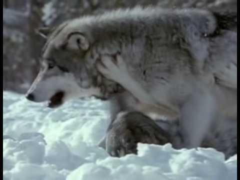 LOBOS -(Parte1/7) Território Selvagem (Discovery Channel)