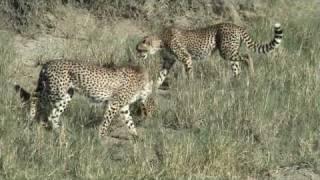 Serval Vs Cheetahs in Serengeti