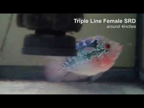 Triple Line Female SRD around 4inches