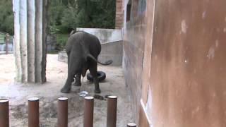 getlinkyoutube.com-The elephant pooping and peeing