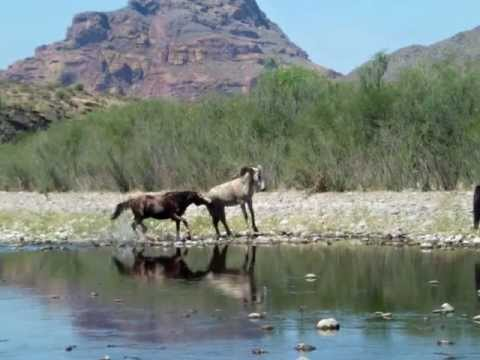 Salt River Stallion Defends his Mare and Foal