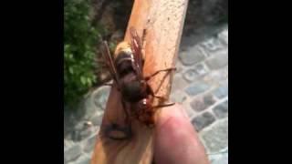 Grootste Europese wesp: Hoornaar mijn koningin, Giant Hornet my Queen
