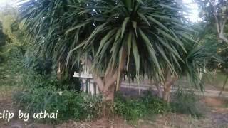 getlinkyoutube.com-พืชสมุนไพร จันผา  พืชตกแต่งสวน วิถีเกษตร ทางเลือกใหม่ by uthai