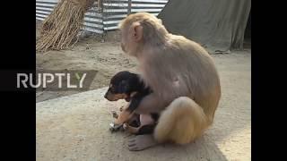 India: Monkey adopts adorable stray puppy