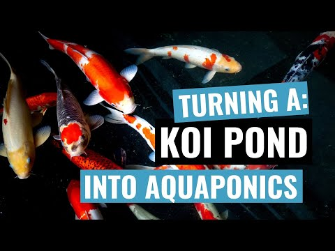How to build a simple DIY Aquaponics system using a Koi Carp pond (for less than $200)