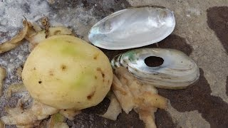 getlinkyoutube.com-Potato Peeler from Clams Shell: DIY