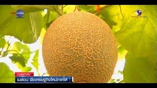 getlinkyoutube.com-เกษตรทำเงิน : เมล่อน ความหวังพืชเศรษฐกิจใหม่ภาคใต้