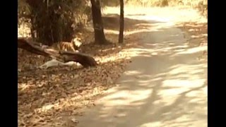 Big male tiger killed a cattle and dragged into bush