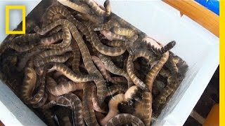 getlinkyoutube.com-Is Eating Venomous Sea Snakes a Bad Thing? | National Geographic