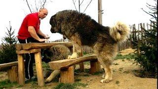 getlinkyoutube.com-Jozo Dogs - GRIZLI - 97 kg-/89 cm  shoulder height-Caucasian Ovtcharka