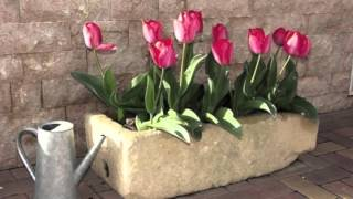 getlinkyoutube.com-Cómo cuidar tulipanes
