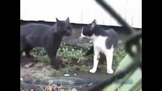 getlinkyoutube.com-Gato falando VIADO
