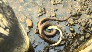 getlinkyoutube.com-Northern water snake versus eel