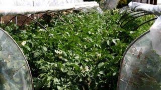 getlinkyoutube.com-Выращивание картофеля в грядах-коробах