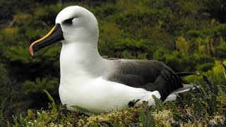 getlinkyoutube.com-Tristan da Cunha - wildlife and heritage