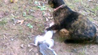 getlinkyoutube.com-Cat kills squirrel and eats it.