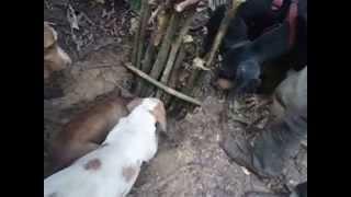 getlinkyoutube.com-caçada de catitu em guariba mato grosso !!!!!!!!!!!